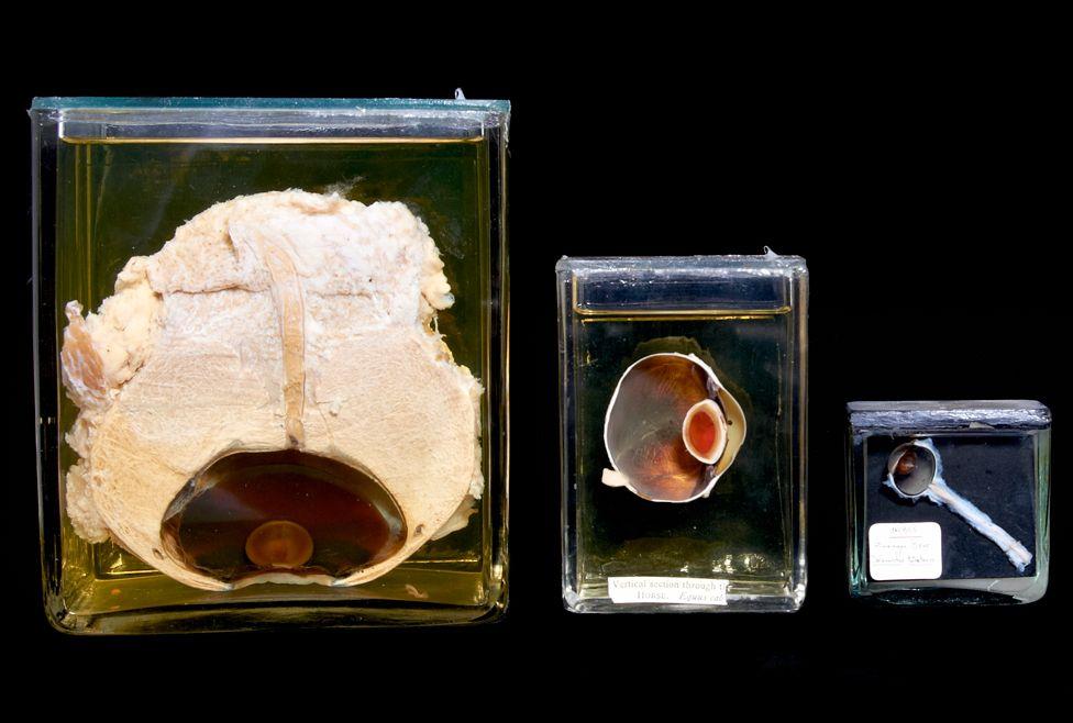 El ojo de una ballena negra (izq), el de un caballo y el de un oso del Himalaya