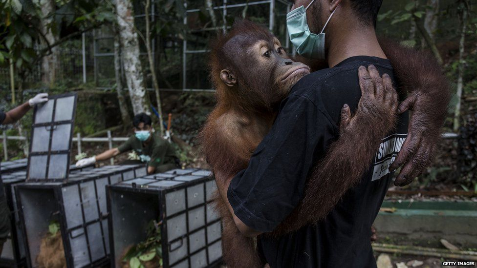 A worker carries a Sumatran orangutanto put into a cage as its taken to an animal sanctuary