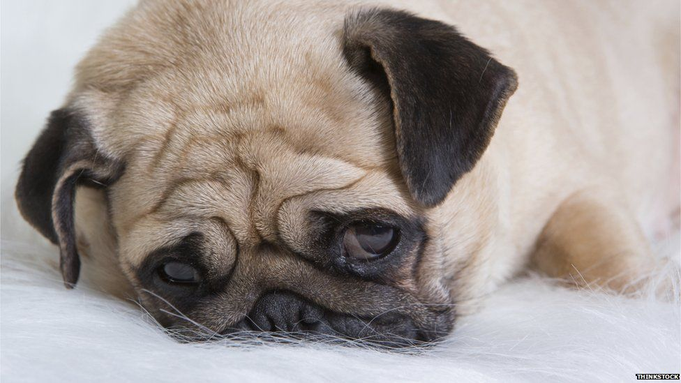 The Reason We Cant Resist Puppy Dog Eyes Explained Bbc Newsbeat