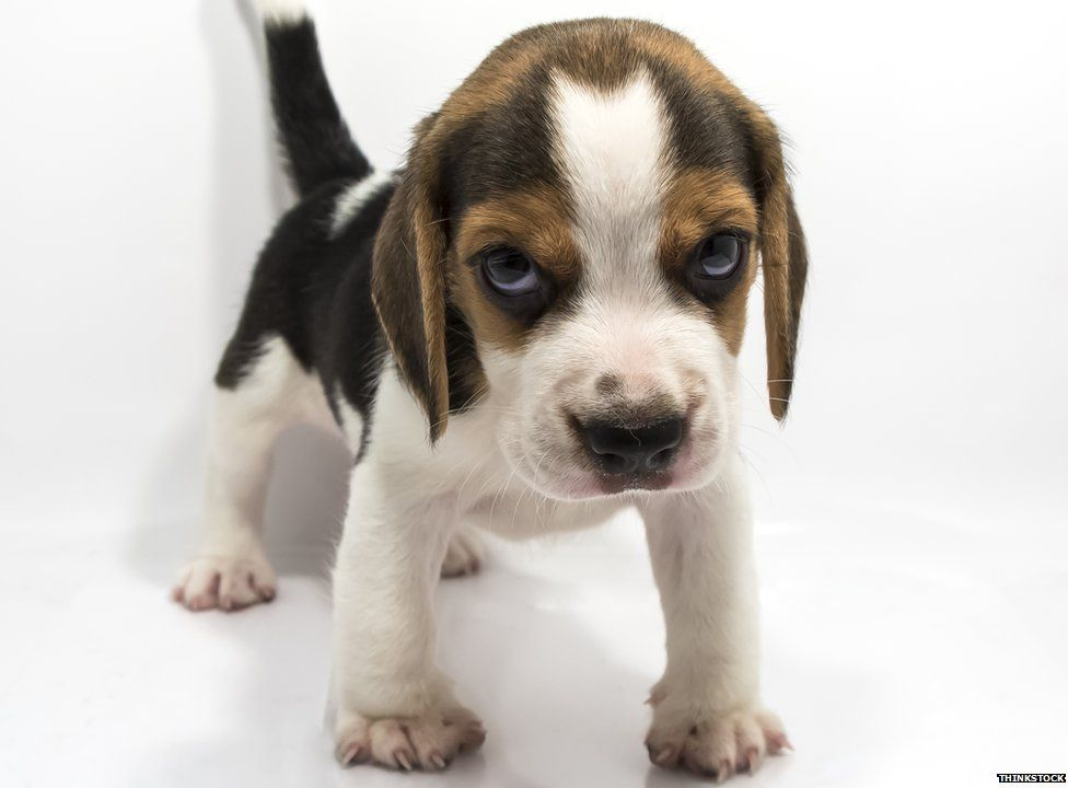 Free Beagle Dog Images