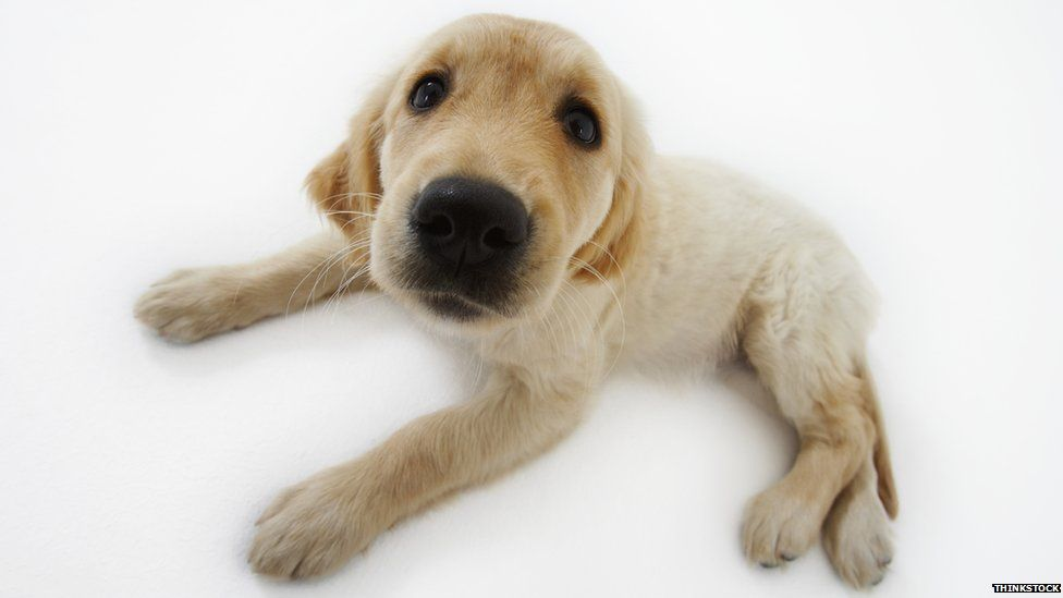 The Reason We Can T Resist Puppy Dog Eyes Explained Bbc Newsbeat