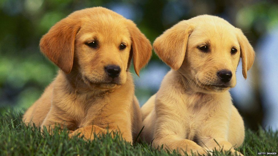 'Puppy room' offered to relax stressed students - BBC Newsbeat Pictures Of Puppies