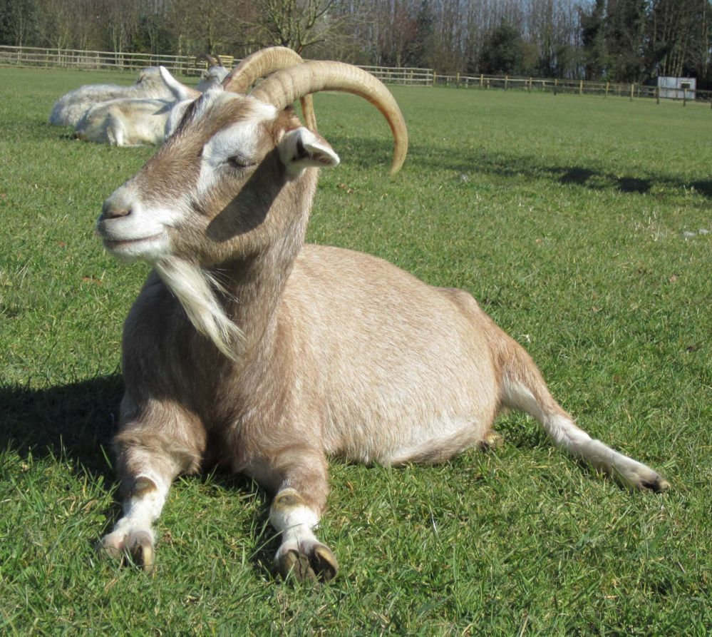 This goat took part in the research