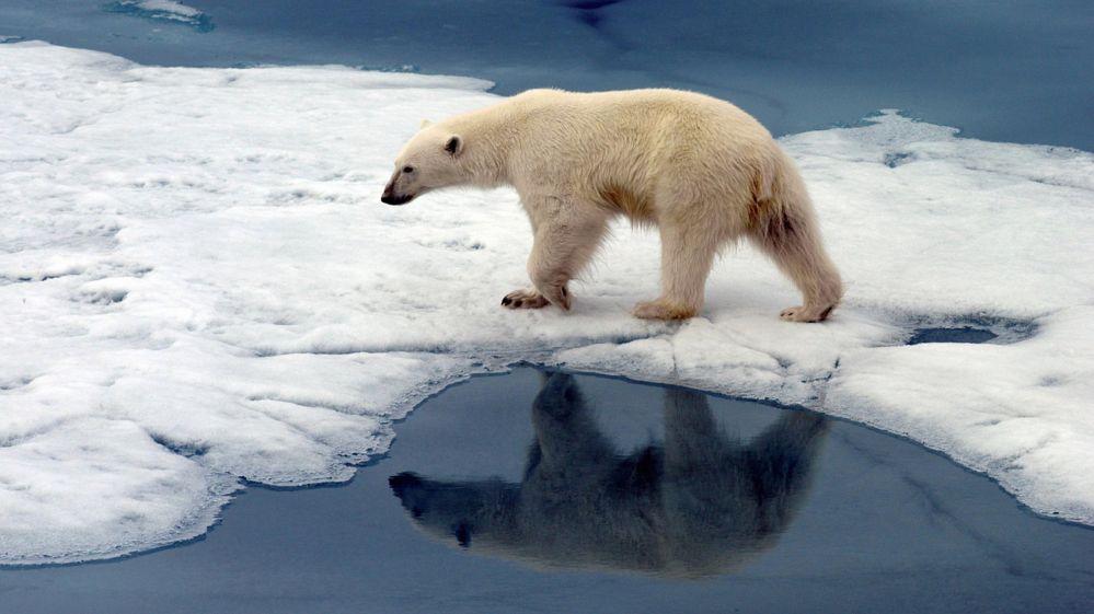Polar bear on some ice