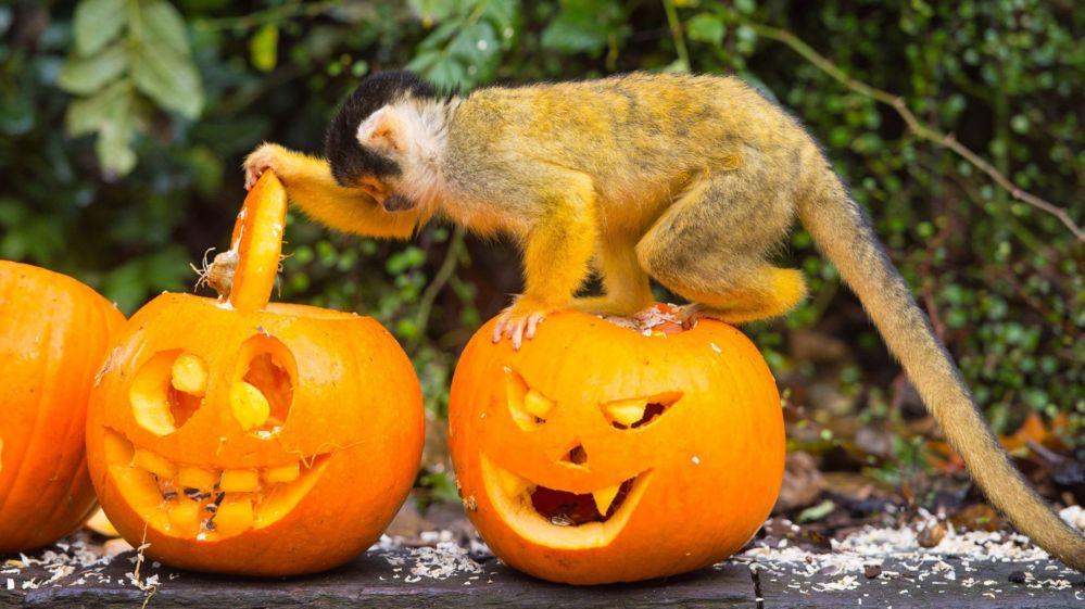 Squirrel monkey looking inside a pumpkin