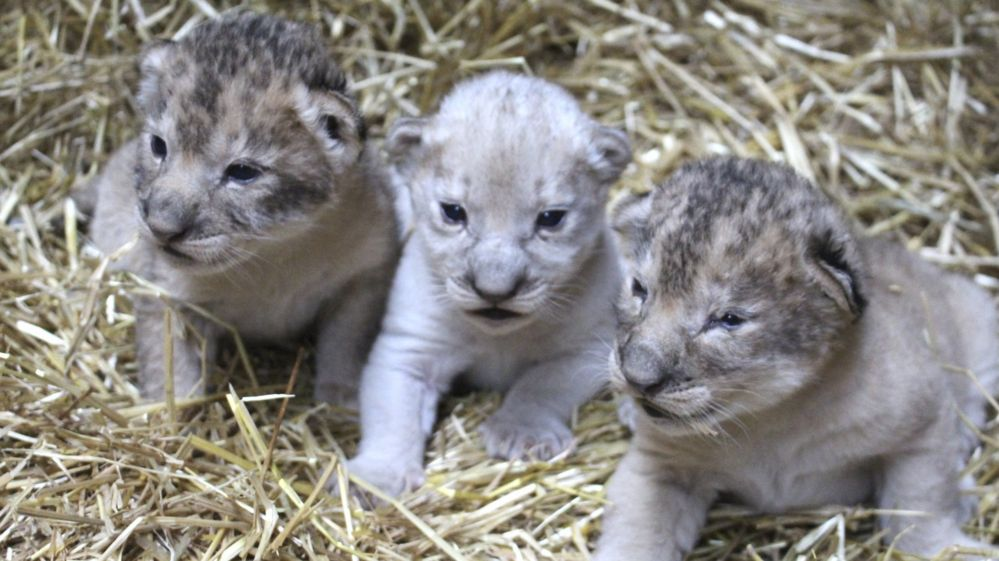 Three lion cubs, one of which is white