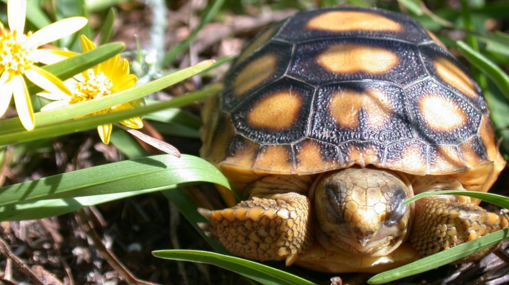 Young tortoise