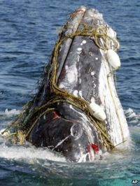 A whale entangled in a shark net off Australia's Gold Coast