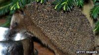 A hedgehog eats cat food from a bowl
