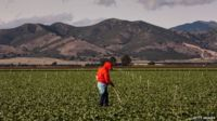 A farm worker appeared near Gonzales, California, on 4 April 2013