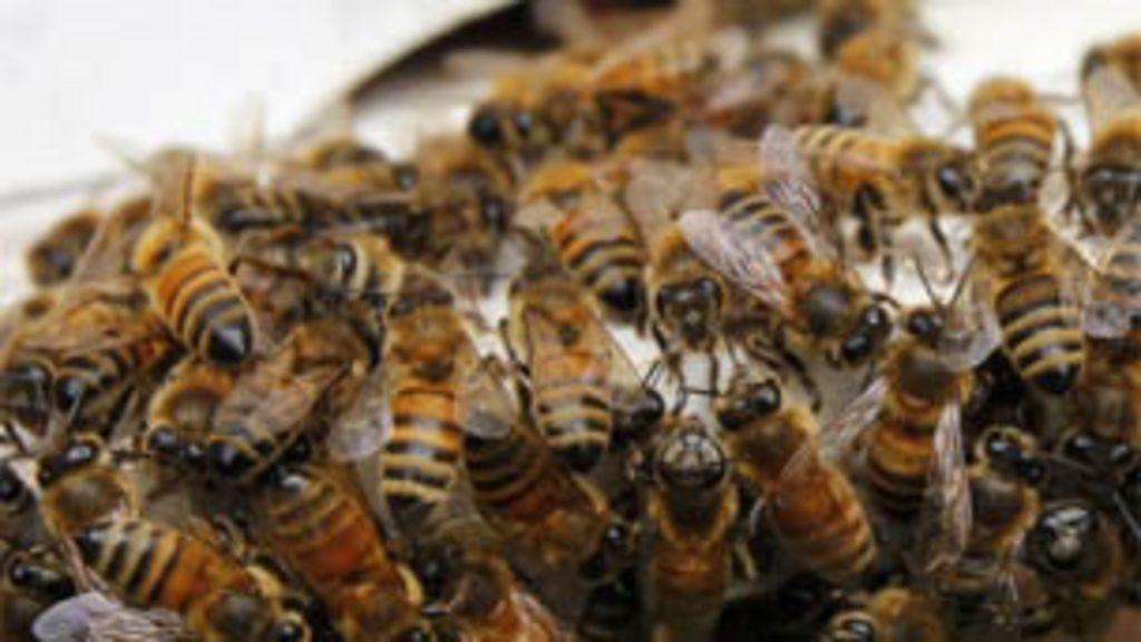 Estudante leva 190 picadas de abelha para saber onde dói mais ...
