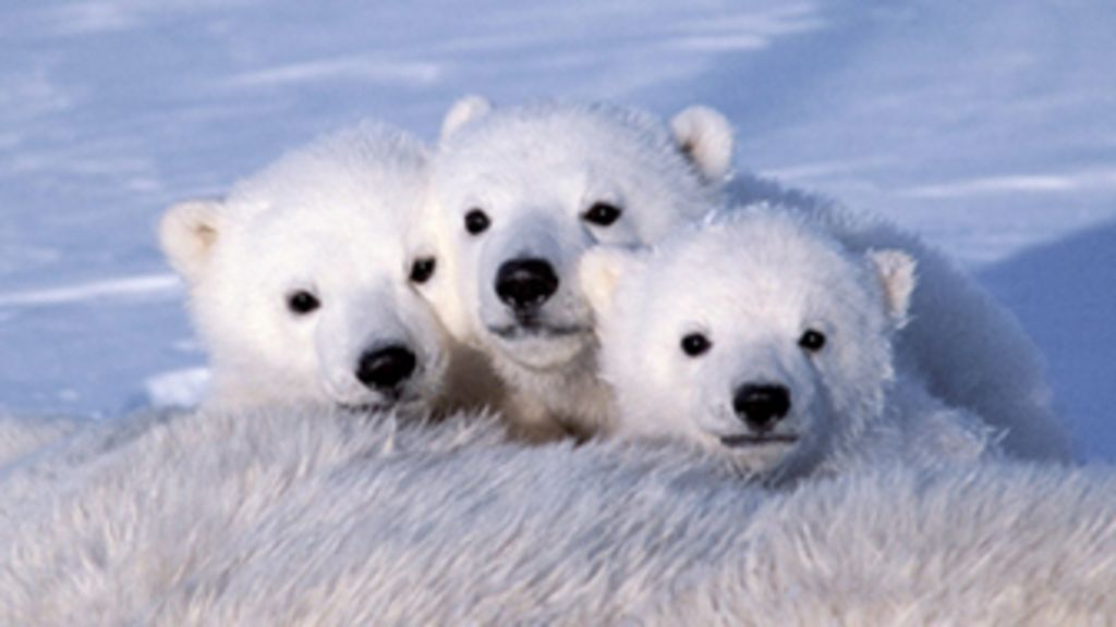 A cada vez mais difícil vida dos ursos polares na solidão do gelo ...