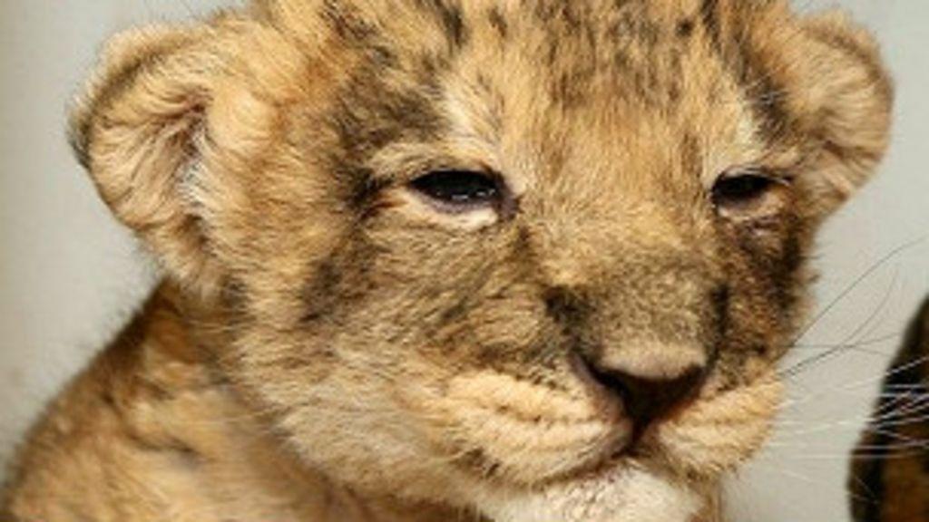 Filhote de leão leva guarda florestal até o cadáver de sua mãe ...