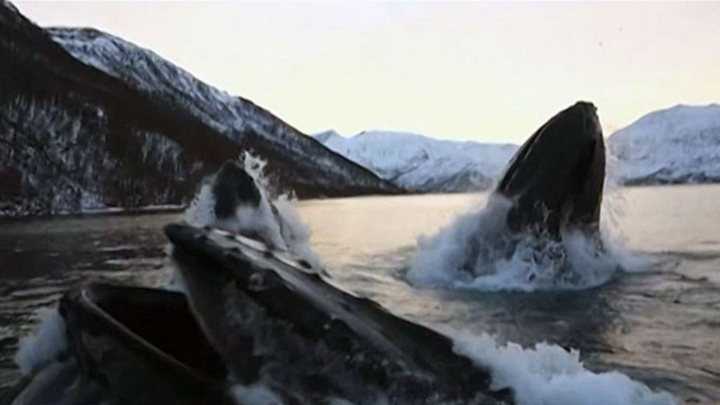 Pescadores são surpreendidos por baleias jubarte na Noruega ...