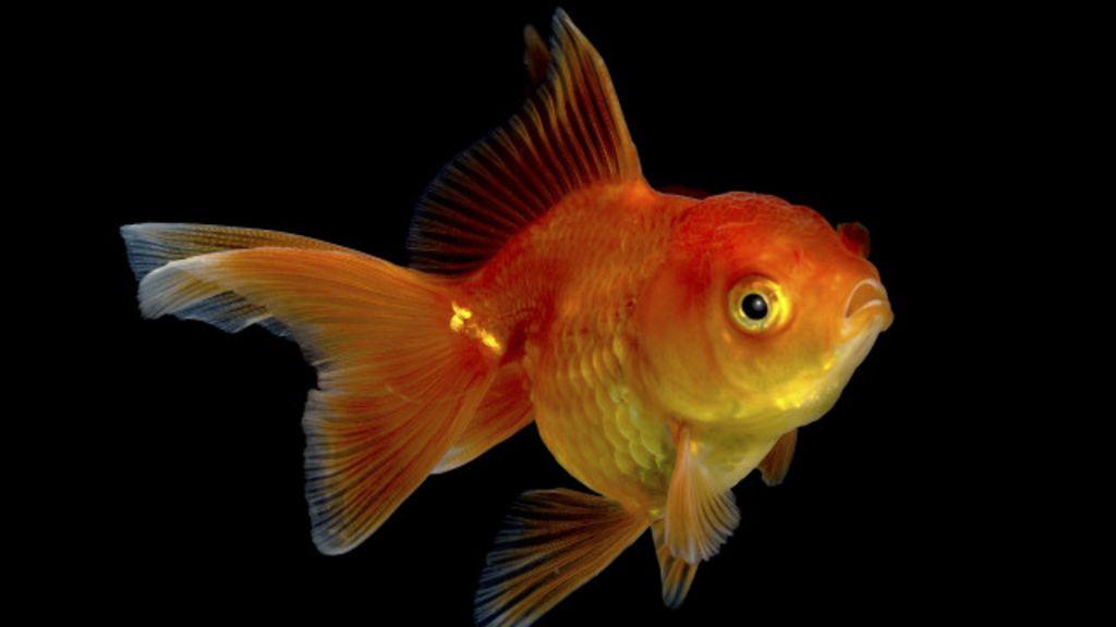 Tecnologia deixa humanos com atenção mais curta que de peixinho ...