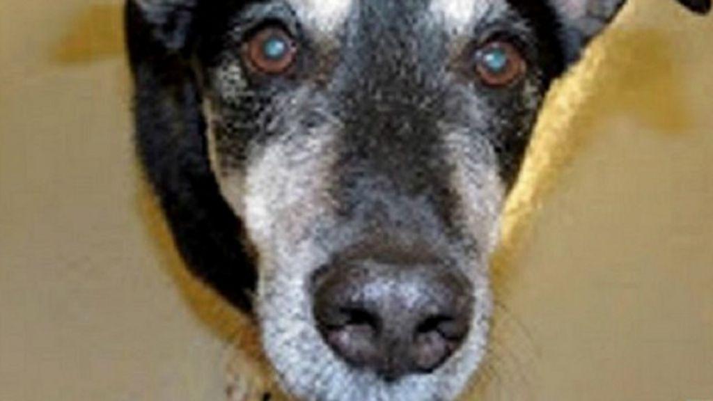Cão fareja com sucesso 88% de cânceres na tireoide - BBC Brasil