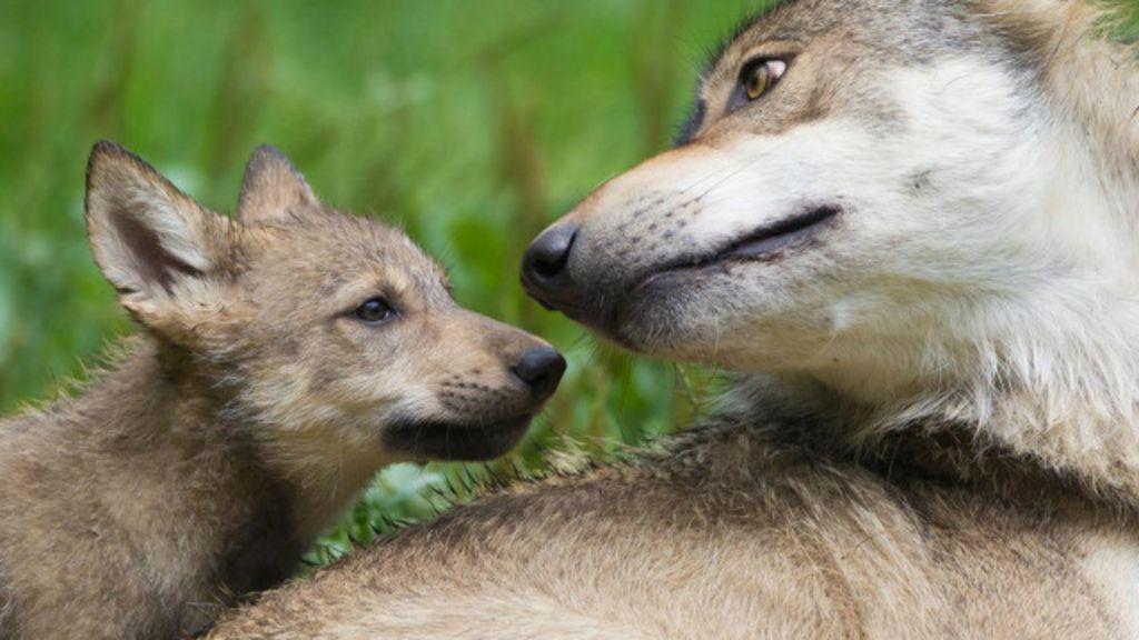 Lobos são ótimos pais adotivos, aponta estudo - BBC Brasil