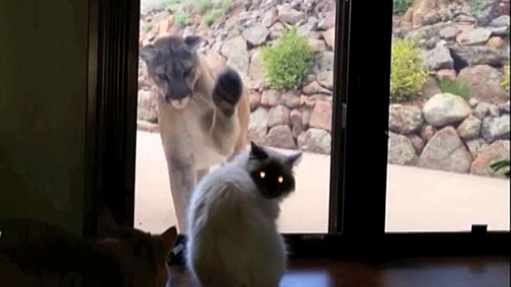 O estranho duelo entre um gato e um leão-da-montanha - BBC Brasil