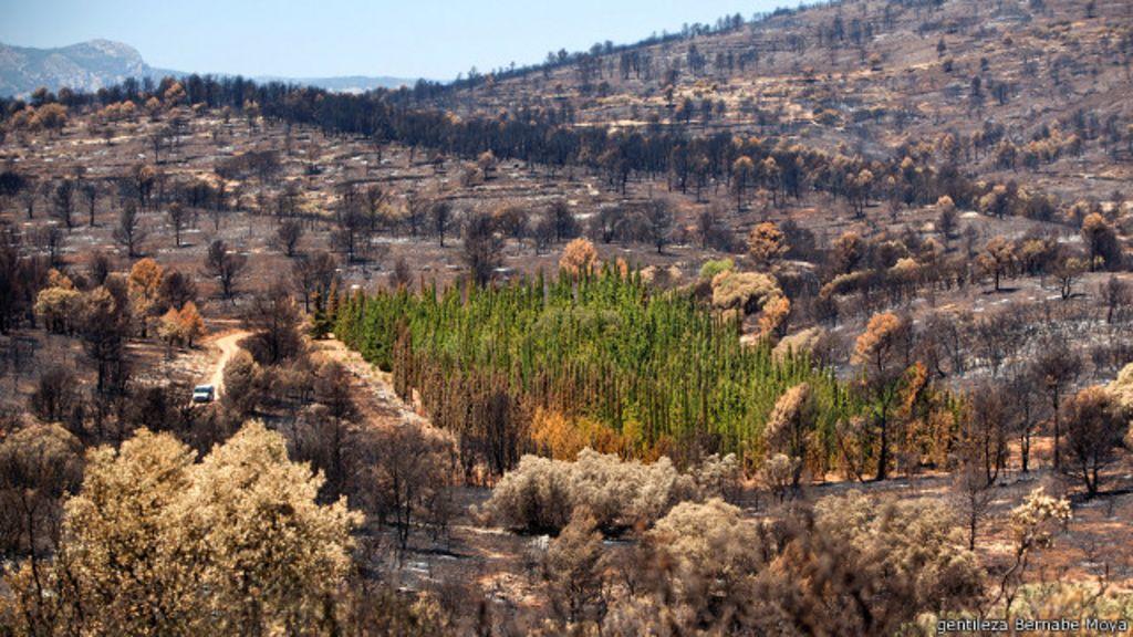 Desvendado mistério das árvores que resistem a incêndios florestais
