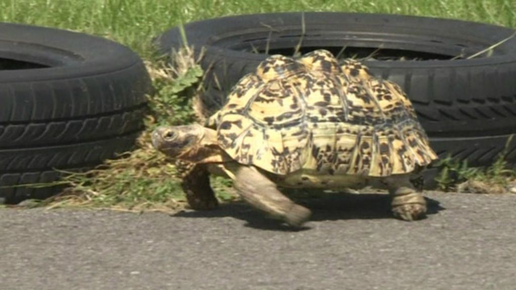 ' Usain Bolt' das tartarugas pulveriza recorde mundial - BBC Brasil