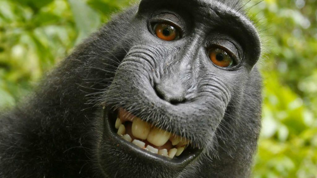 Selfie de macaco vira alvo de disputa sobre direitos autorais - BBC ...