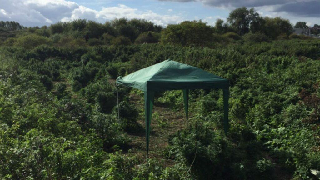 Polícia descobre 'floresta de maconha' em Londres - BBC Brasil
