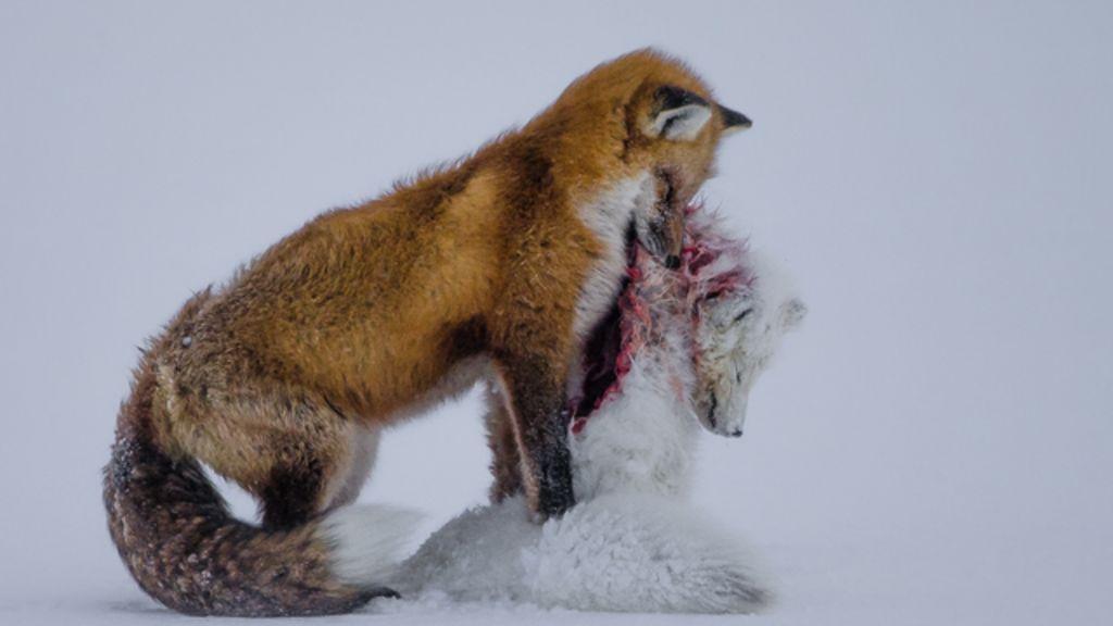 Foto de raposas após batalha mortal rende prêmio de natureza ...