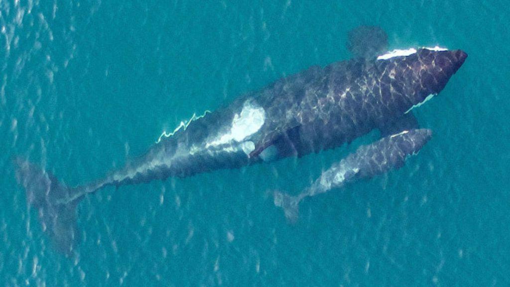 Drone faz imagens inéditas de comunidade ameaçada de baleias ...
