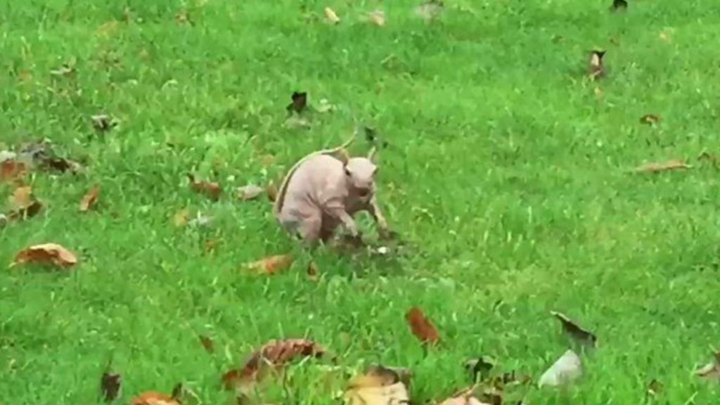 Ambientalistas capturam raro esquilo pelado para evitar que ele ...