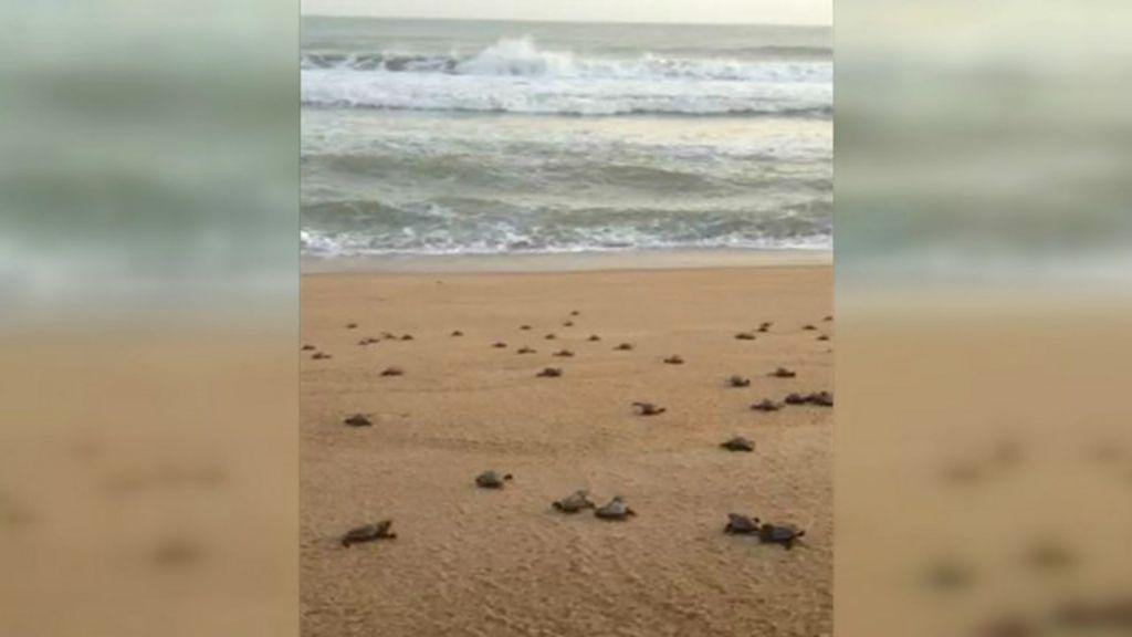 Pesquisadores liberam centenas de tartarugas em área do litoral ...