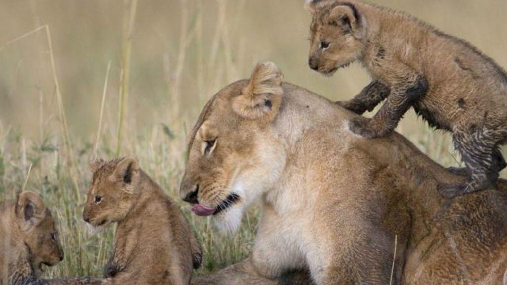 Leões estrelas de documentário são envenenados no Quênia - BBC ...