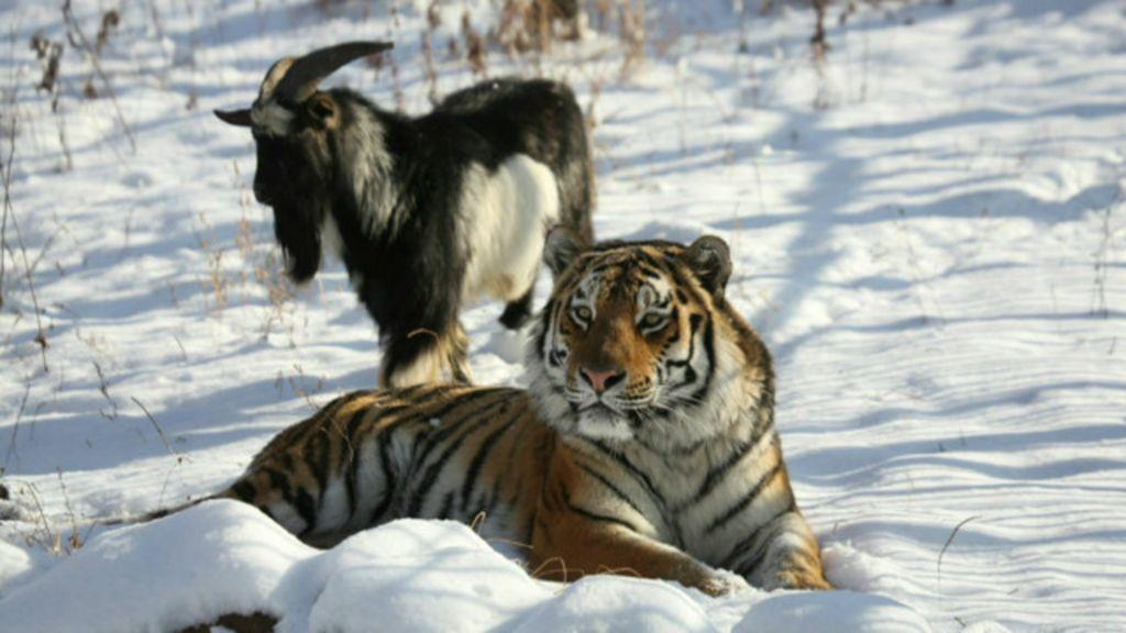 Em vez de refeição, bode vira melhor amigo de tigre na Rússia ...