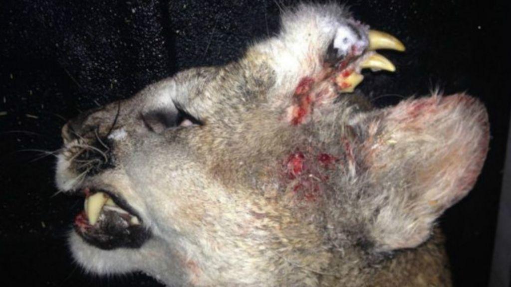 Mistério de puma com dentes na testa intriga biólogos nos EUA ...