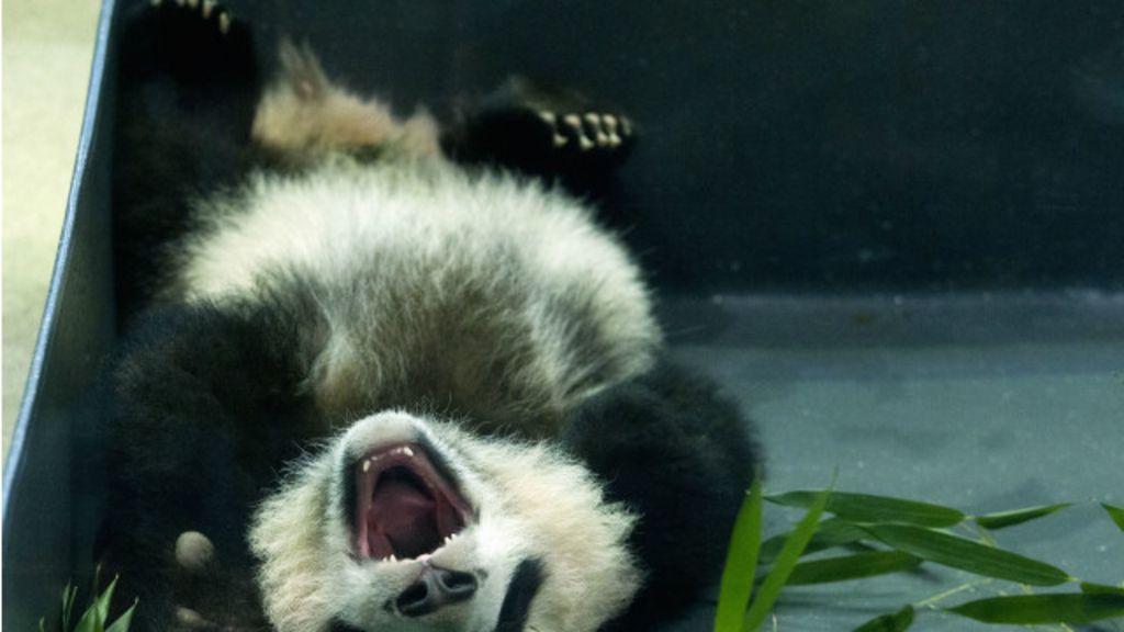 Bebê panda faz primeira aparição pública em zôo dos EUA - BBC ...