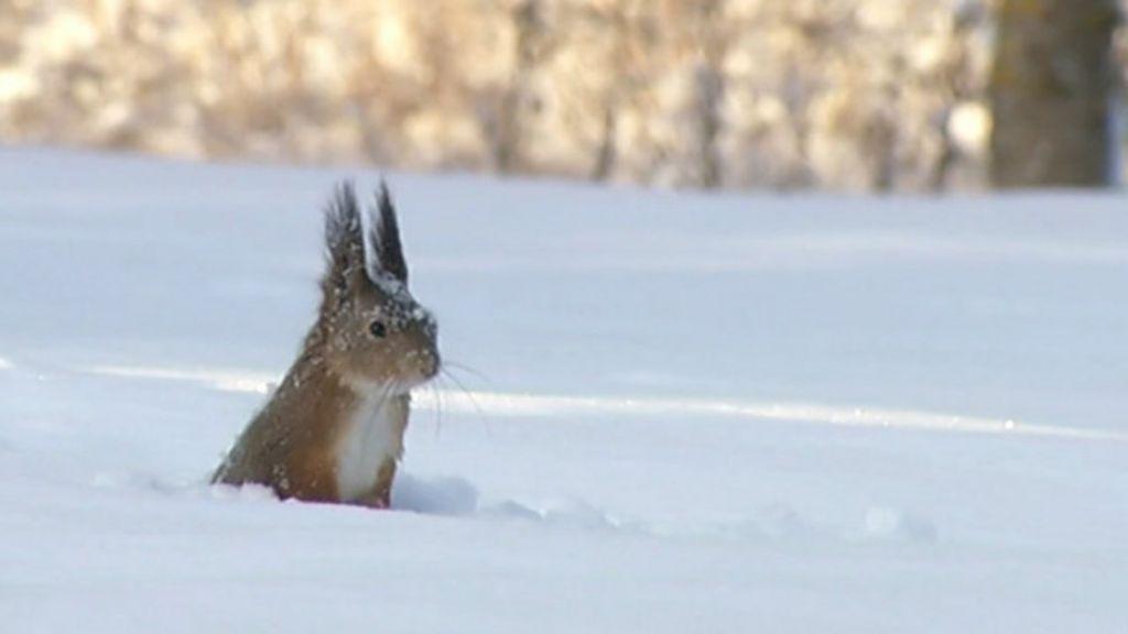 Vídeo capta esquilo mergulhando na neve em busca de comida ...