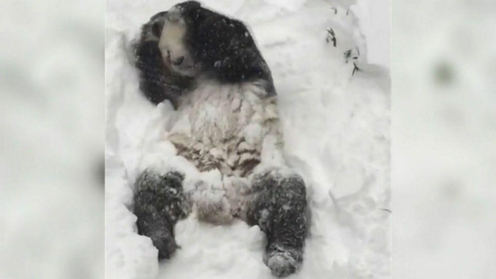 Em meio a tempestade nos EUA, panda se diverte na neve em ...