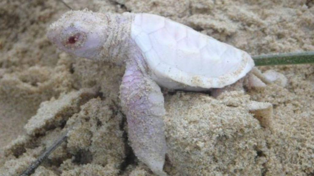 Vídeo capta nascimento raro de tartaruga albina na Austrália - BBC ...