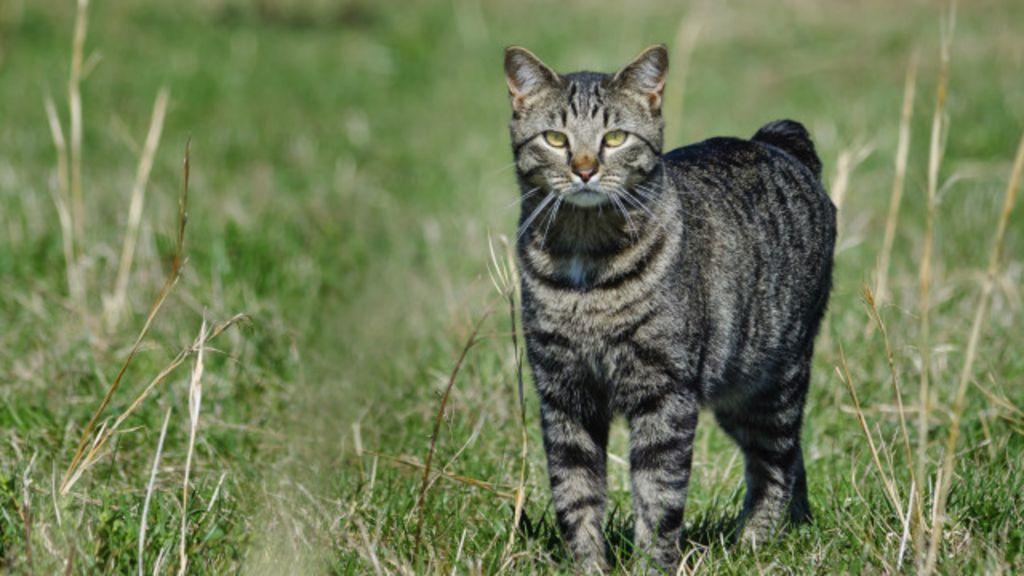 Mengapa Kucing Manx Di Inggris Tak Punya Ekor Bbc Indonesia