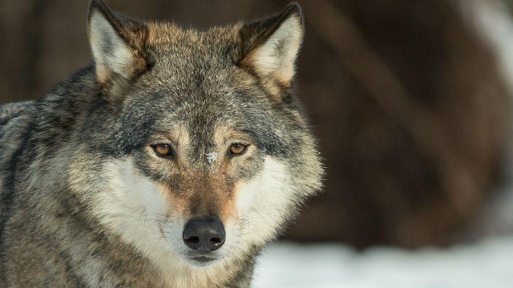 фото волков взгляд