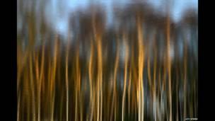 सनौबर के पेड़