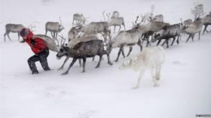 Renos caminando en la nieve, Foto: Getty