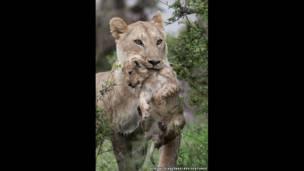 La leona y la cría están empapados después de cruzar el río