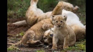 La leona y su cría se unen al resto de la manada después de lograr cruzar el río