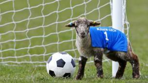 lamb football, लैंब फुटबॉल, भेड़ों की खेल प्रतियोगिता
