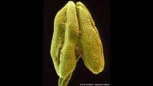 Borlilla de una flor de lima