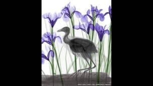 Radiografía a color de una focha y flores de iris. Arie van't Riet / SPL / Barcroft Media