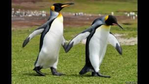 Punta Voluntarios, pingüinos rey. Vicki Jackson