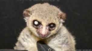 Jonas, el lémur de 19 años.  David Haring / Duke Lemur Centre