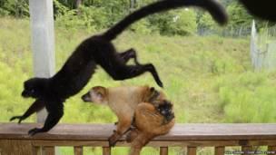 Familia de lémures negros de ojos azules. David Haring / Duke Lemur Centre