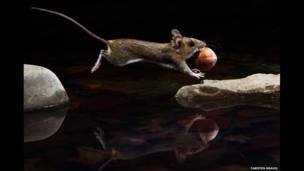 """""""Yellow-necked mouse"""" de Carsten Braun"""